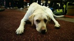 Guide Dog Tyler laying splayed out on the carpet